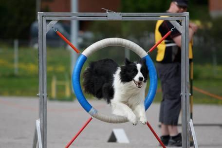 Koira suorittamassa agility-rataa ja hyppäämässä renkaan läpi.
